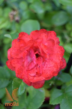 "vrtnica ""Coral Drift"""