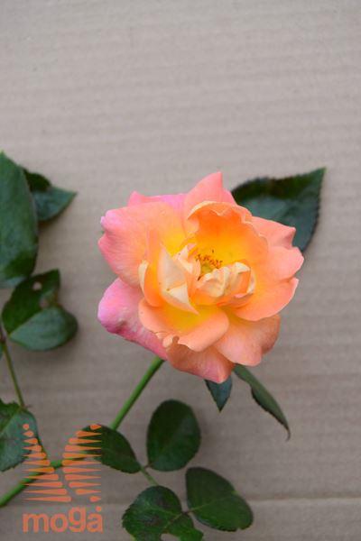 "vrtnica ""Queen Britannia"""