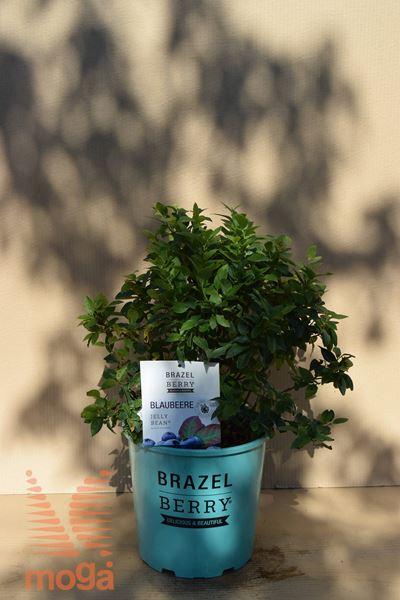 "ameriška borovnica ""BrazelBerries® Jelly Bean"""