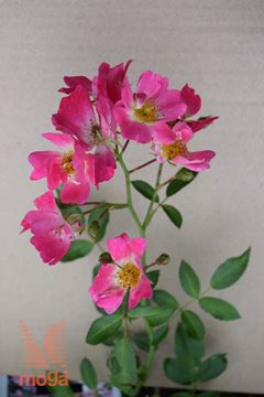 "vrtnica ""Pink Drift"""