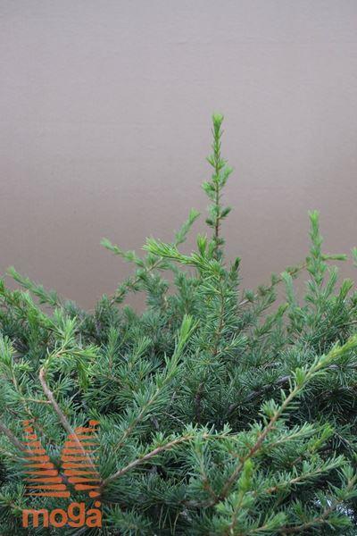libanonska cedra