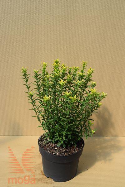 """japonska trdoleska """"Microphyllus Aureovariegatus"""""""