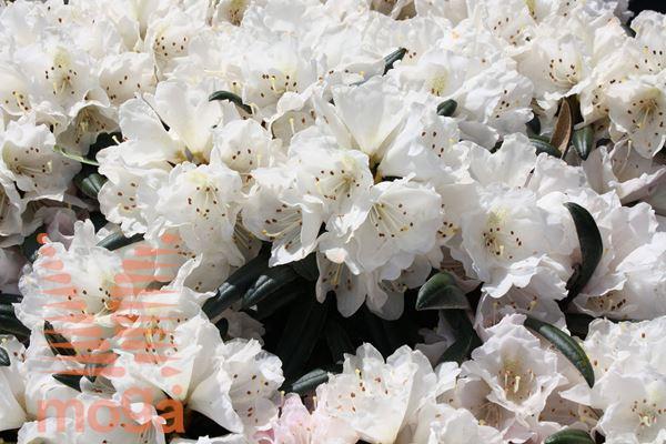 "yakushimski rododendron ""Makiyak"""