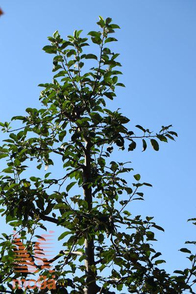 gojena jablana