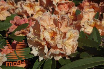 """rododendron """"Eddy"""""""