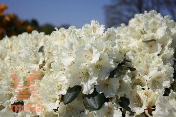 "yakushimski rododendron ""Marietta"""
