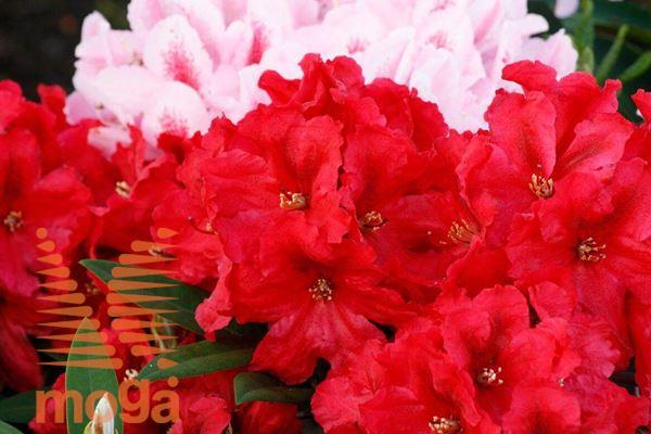"rododendron ""Rabatz"""