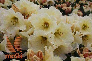 "yakushimski rododendron ""Golden Melodie"""