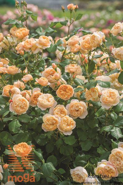 "vrtnica ""Roald Dahl"""