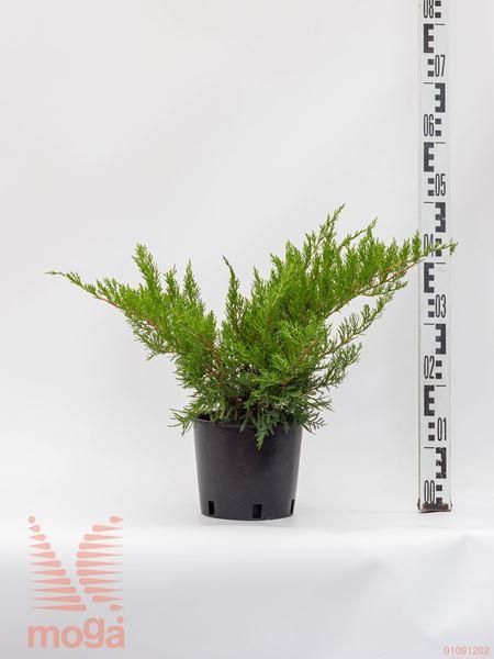 "Juniperus media ""Mint Julep"" |20-30|C2"