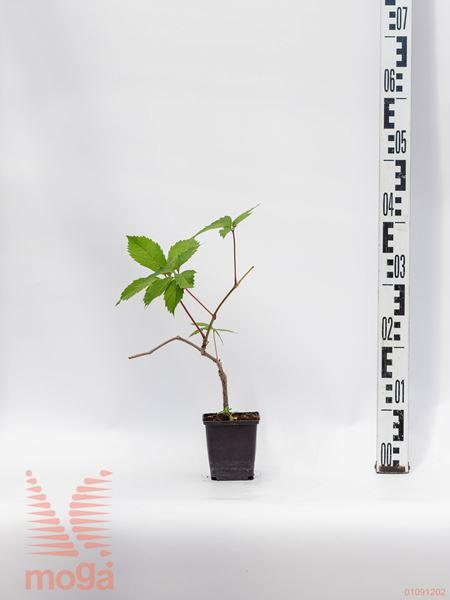 Parthenocissus quinquefolia  P9