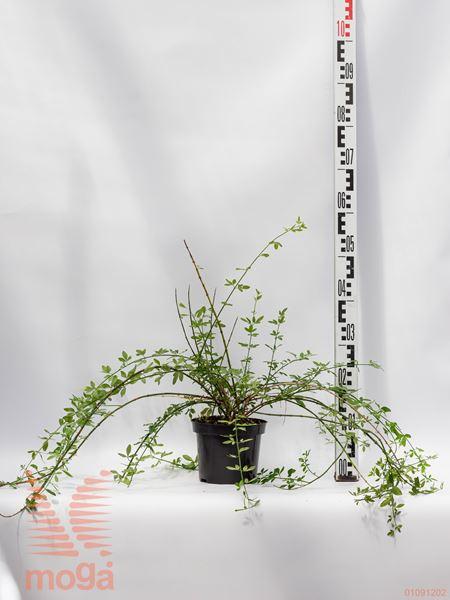 Jasminum nudiflorum  40-60 P13