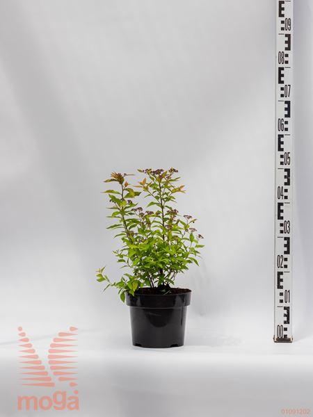 "Spiraea japonica ""Goldflame"""