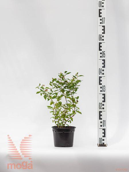 "Spiraea japonica ""Goldflame"" |20-30|C1"