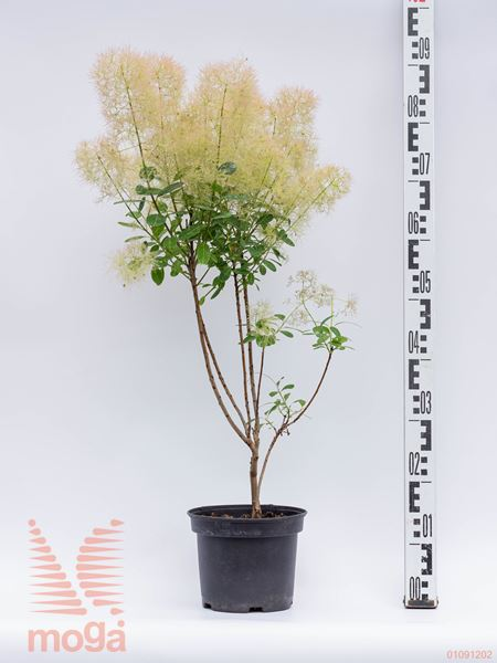 """Cotinus coggygria """"Young Lady"""" 