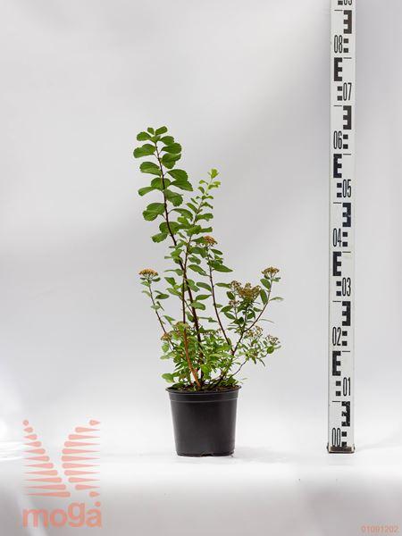 "Spiraea betulifolia ""Tor"" |20-30|C2"