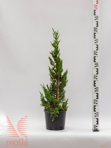 "Juniperus chinensis ""Keteleeri"" |20-40|C2"