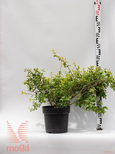 "Abelia grandiflora ""Kaleidoscope"" ® |40-60|C7"