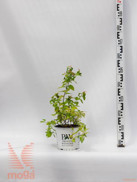 "Spiraea japonica ""Double Play Big Bang"" ®™  20-40 C3"