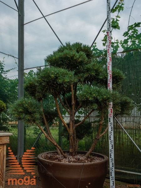 "Pinus sylvestris ""Watereri"" |125-150|FI:100-125|bonsai - oblika|C/JUMBO215"