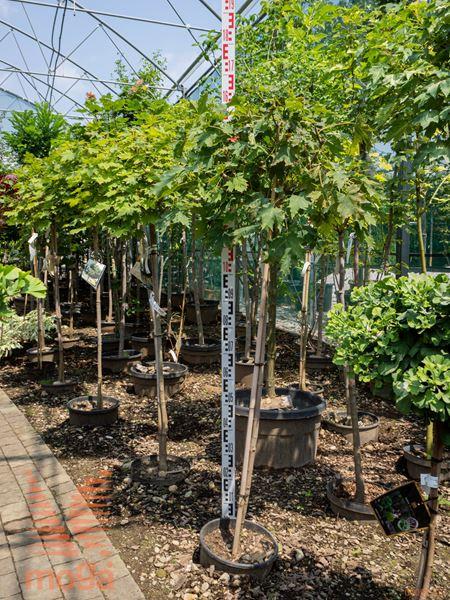 """Acer platanoides """"Globosum""""  6/8 1/2 deblo C"""