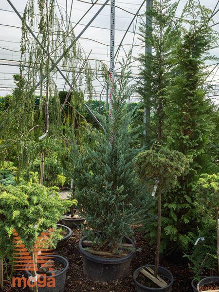 """Juniperus scopulorum """"Moonglow"""""""