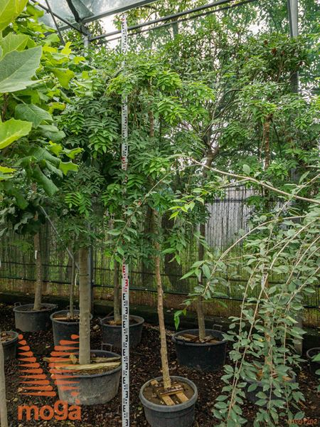 "Sophora japonica ""Pendula"" |10/12|AF deblo|C"