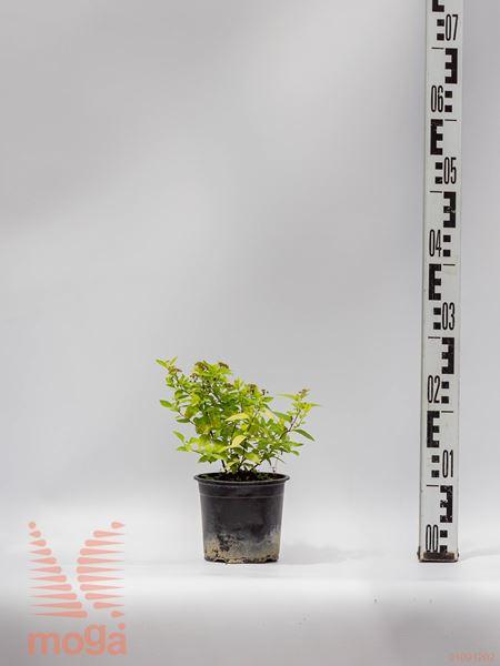 "Spiraea japonica ""Golden Princess""  10-20 P10,5"