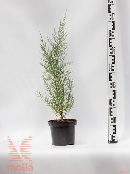 Tamarix parviflora  C2