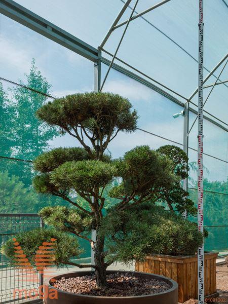 Pinus sylvestris  150-175 FI:125-150 bonsai - oblika C/JUMBO500