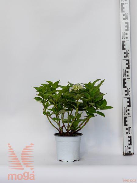 velikolistna hortenzija