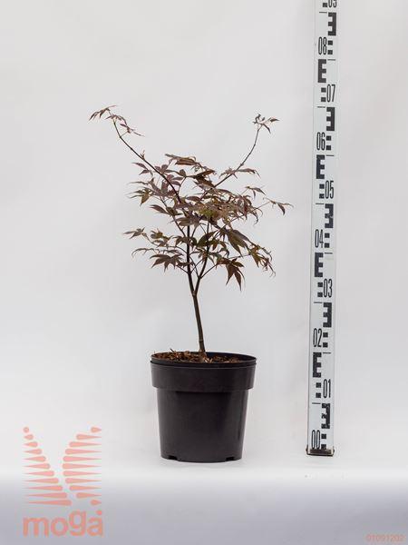 """Acer palmatum """"Bloodgood""""  40-60 C4,5"""
