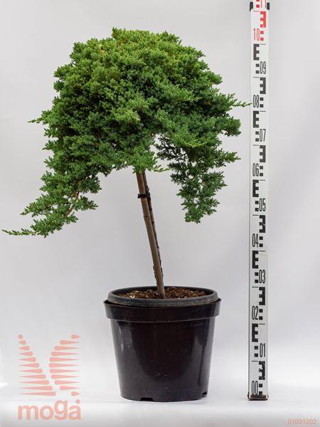 "Juniperus procumbens ""Nana""  1/4 deblo C12"