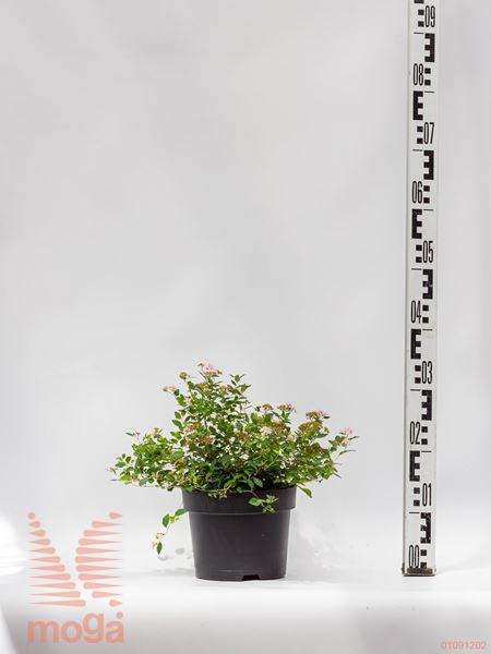 "Spiraea japonica ""Little Princess"" |20-40|P19"