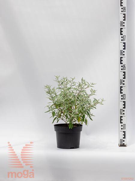 "Caryopteris clandonensis ""Sterling Silver"" ® |20-30|C3"
