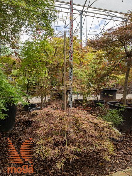 """Acer palmatum """"Ornatum""""  100-125 C40"""