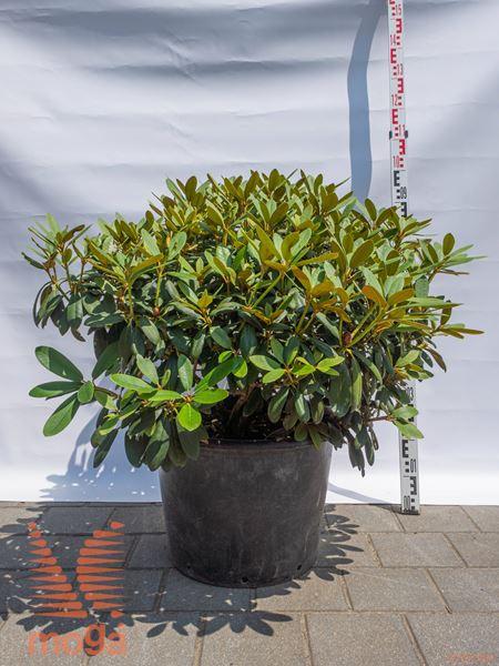 """Rhododendron """"Schneekrone""""  80-100 C"""