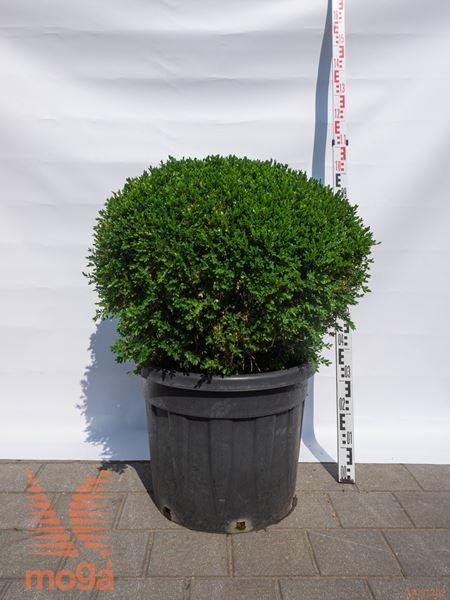 """Buxus sempervirens """"Suffruticosa""""  70-80 C33"""