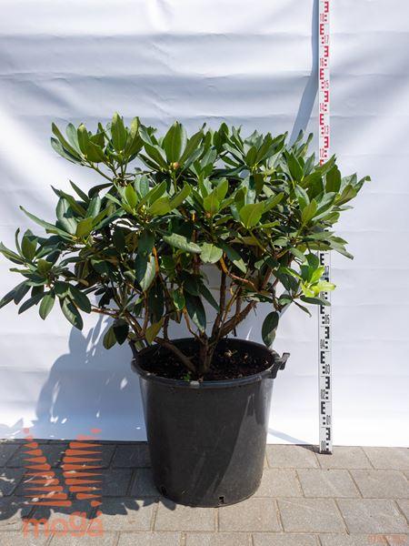 "Rhododendron ""Walküre"" ® |80-100|C"