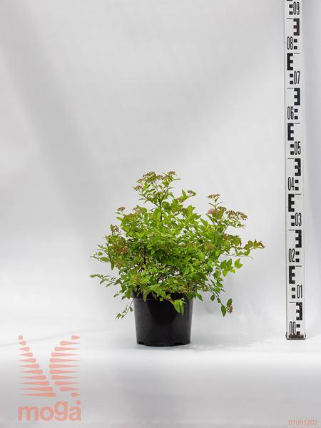 "Spiraea japonica ""Golden Princess""  20-40 P19"