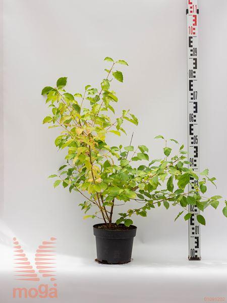 "Cornus sanguinea ""Midwinter Fire"" |40-60|C"