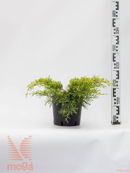 "Juniperus chinensis ""Gold Star"" |20-40|C2"