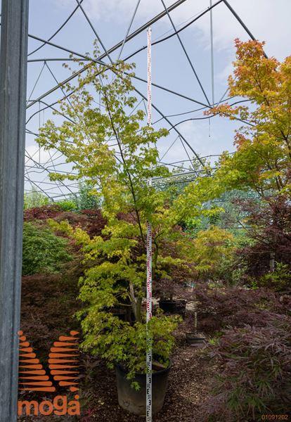 Acer palmatum |200-250|C