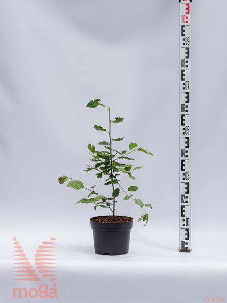 Amelanchier lamarckii |40-60|C
