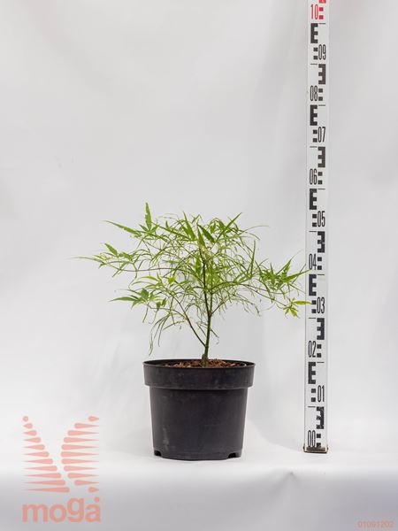 "Acer palmatum ""Koto-no-ito""  40-60 C4,5"