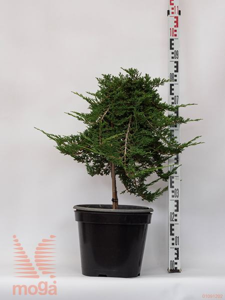 "Juniperus horizontalis ""Prince of Wales"" |1/4 deblo|FI:40-60|C"