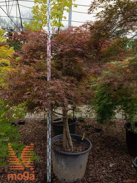 """Acer palmatum """"Dissectum Nigrum""""  150-175 FI:150-175 3R C110"""