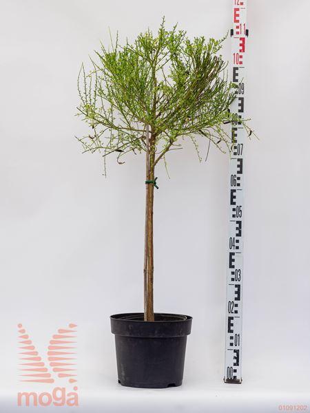 Cytisus praecox  1/4 deblo C