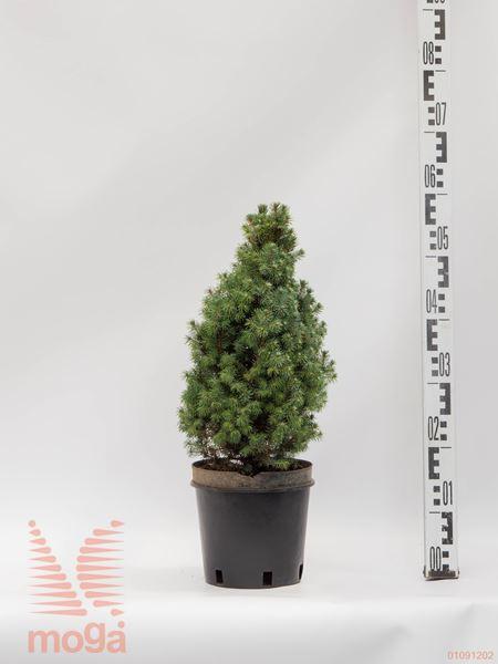 "Picea glauca ""Sander's Blue"" |40-60|P19"