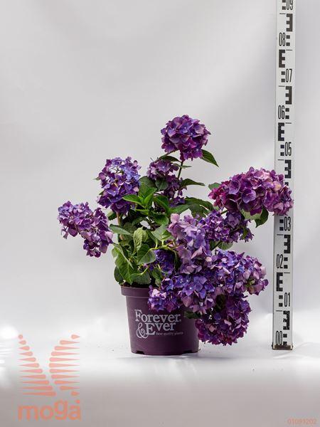 "Hydrangea macrophylla ""Forever & Ever"" |20-40|purpurna|C5"